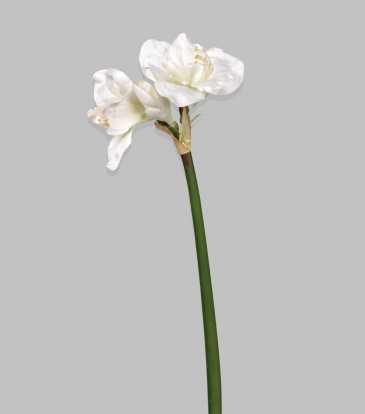 "Amaryllis White 32.5"""