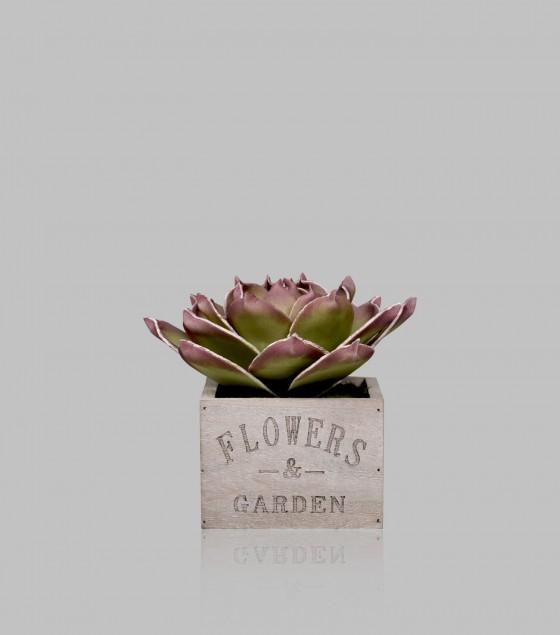 Agave Applanta in pot